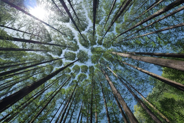 An upward view from the forest floor to the tops of a circle of trees with the sky beyond.