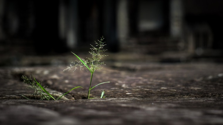 A blooming blade of grass pushes up through pavement