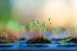 Tiny slim stems with new green leaves rise out of mossy patches in blue water