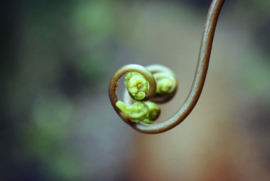 The tightly wrapped tips of a fern frond beginning to unfurl
