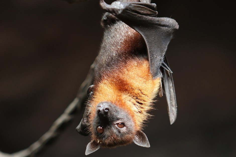 A red-furred bat hangs upside down from a slender branch, eyes open and looking into the camera