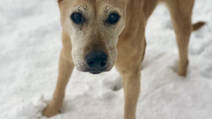An elderly dog, looking anxiously into the camera stands with legs braced on snowy ground