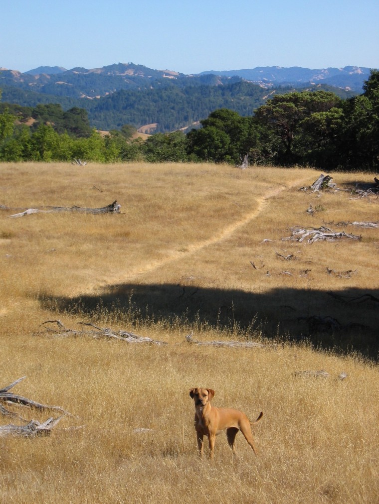 An alert young dog stands in dry grass agaisnt a backdrop of forested hills.